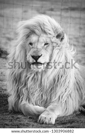 single white lion black and white picture