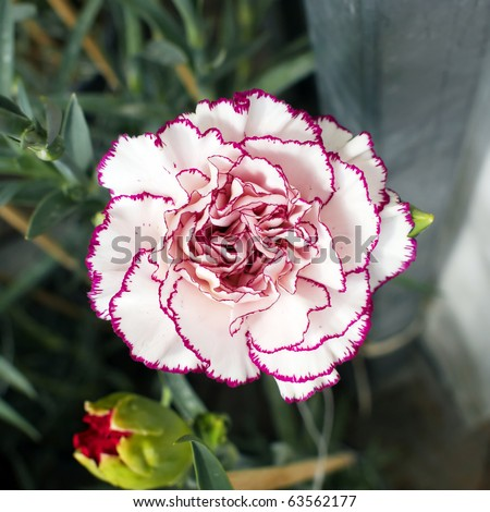 Single white purple carnation  flower, red bud of focus
