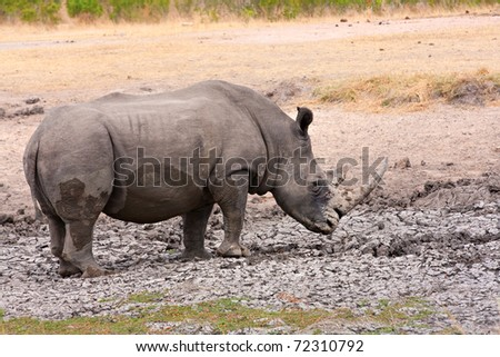 single white rhinoceros enjoying a mud bath in the Kruger National Park, South Africa during the dry season