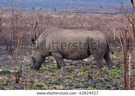 single white rhinoceros in the Kruger National Park, South Africa, grazing on new grass sprouts after brush fire