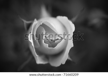 single white rose wallpaper. black and white photography