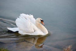 Single white swan on the lake, copy space. Swan bird outdoors. Goose