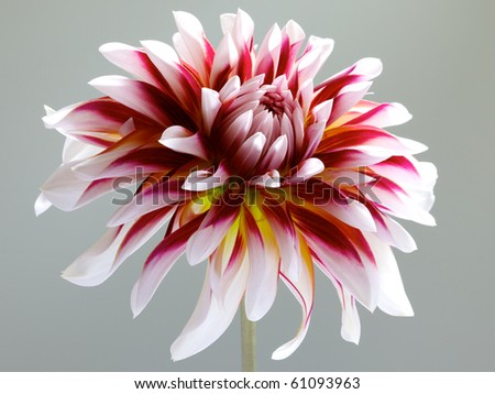 single white with red and yellow dahlia