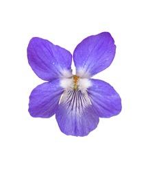 single wood, sweet, English, common, florist's or garden violet (viola odorata) flower, detail