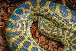 Single Yellow Anaconda - latin Eunectes notaeus - snake known also as Paraguayan anaconda natively inhabiting tropical South America, in an zoological garden terrarium