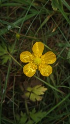 Single yellow Creeping Buttercup (Ranunculus repens) flower on green and natural background with raindrops and reflection.
