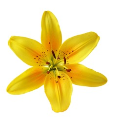 Single yellow lily head, isolated on white