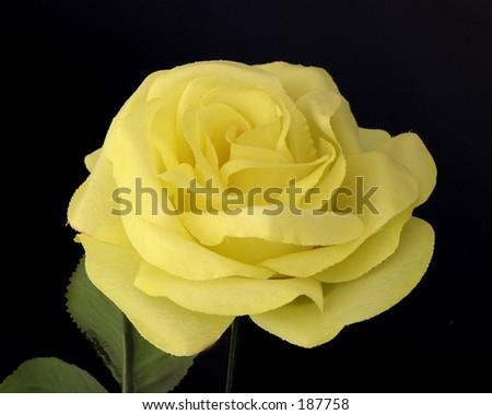 Single Yellow Rose Black Background Stock Photo 187758 ...