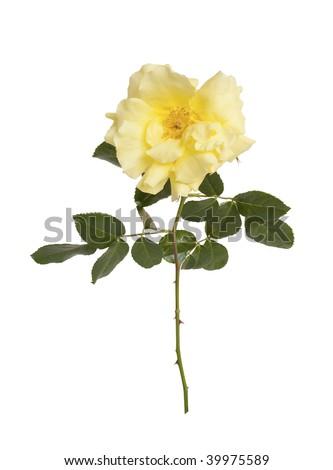 Single yellow rose isolated on white background