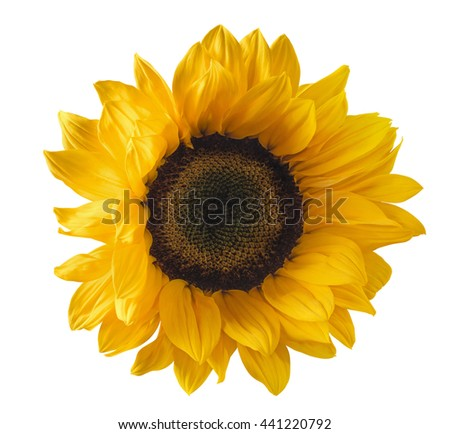 Single yellow sunflower flower isolated on white background as package design element