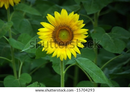 Single Yellow Sunflower With Green Background