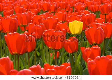 Single yellow tulip among field of red tulips - stock photo