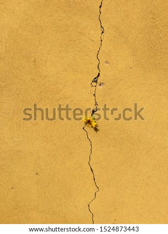 Single yellow wildflower daisy growing through long jagged crack in mustard yellow coloured cement concrete ground surface, concept perseverance or relationships, copy space background