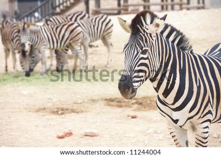 Single zebra standing in front of a heard of zebras in a zoo