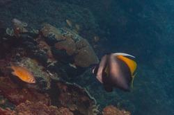 Singular bannerfish (Heniochus singularius) Moalboal, Philippines