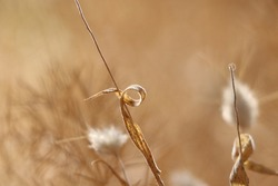 Singular strand of grass in a beige haze. Hot summer drought dried, wild flowers turned to seed