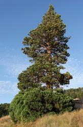 singular trees of Teruel, sequoiadendron giganteum, 25 meters high