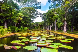 Sir Seewoosagur Ramgoolam Botanical Garden, pond with Victoria Amazonica Giant Water Lilies, Mauritius