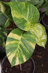 Sirih Gading or green money plant (Epipremnum Pinnatum) in the garden.