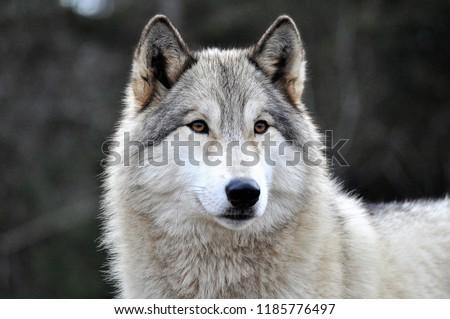 SIRIUS - FEMALE WOLF DOG