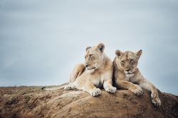 Sister lions