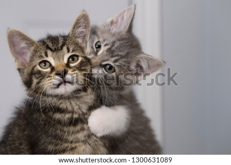 Sister love biting the neck of brother tabby kitten indoors