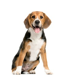 sitting and panting Beagles, Dog, isolated
