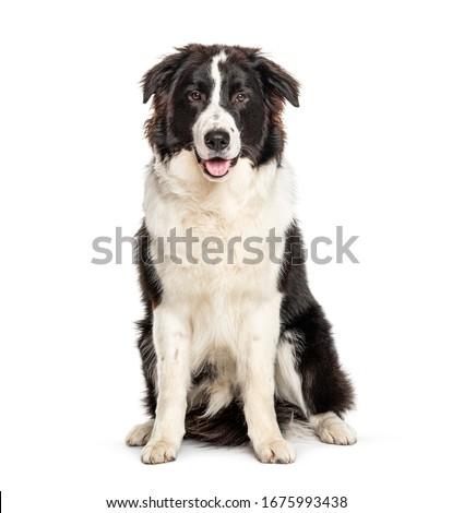 Sitting Australian Shepherd dog, isolated on white Photo stock ©