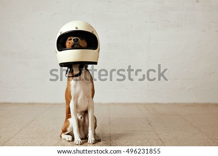 Shutterstock Sitting basenji dog wearing a huge white motorcycle helmet in a room with white walls and light wooden floors