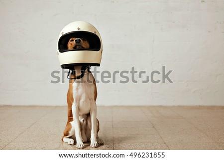 sitting basenji dog wearing a...