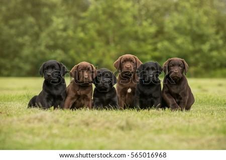 Sitting black and chocolate labrador retriever puppies