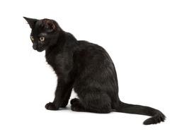 sitting black cat, shot on white background