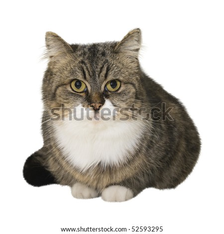 Sitting brown cat isolated over white background