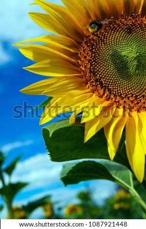 Sitting bumblebee on a blossoming sunflower #1087921448