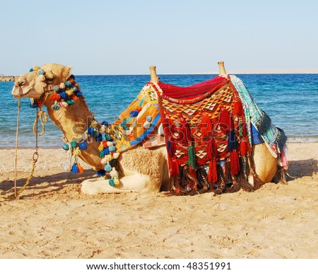 sitting camel over sea background