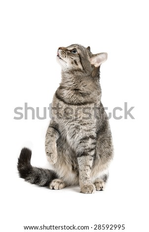 Sitting Cat isolated on white