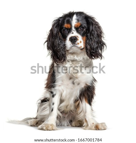 Sitting Cavalier King Charles, isolated on white Photo stock ©