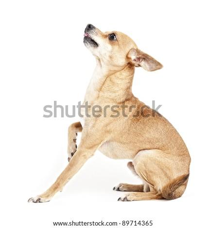 sitting chihuahua