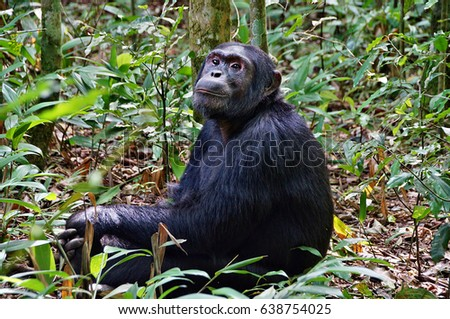 Sitting chimpanzee in Kibale Forest National Park, Uganda