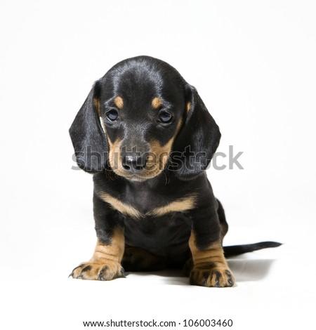 sitting dachshund puppy