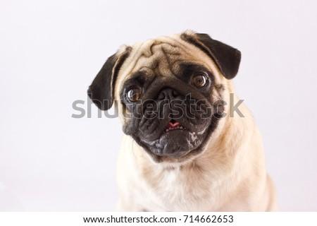 Sitting dog pug with the big eyes isolated