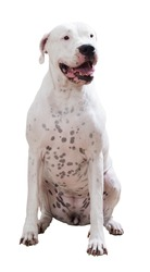 Sitting Dogo Argentino, isolated on white background