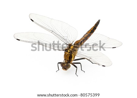 Sitting dragonfly against a white background