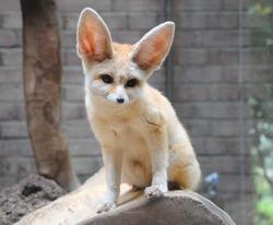 Sitting Fennec or Desert fox or Vulpes Zerda in Amsterdam Zoo Artis