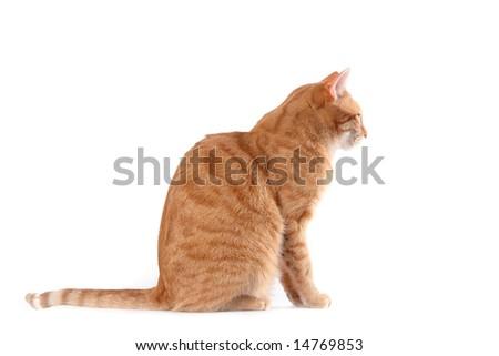sitting ginger cat