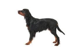 Sitting Gordon Setter dog