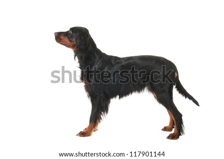 Sitting Gordon Setter dog #117901144