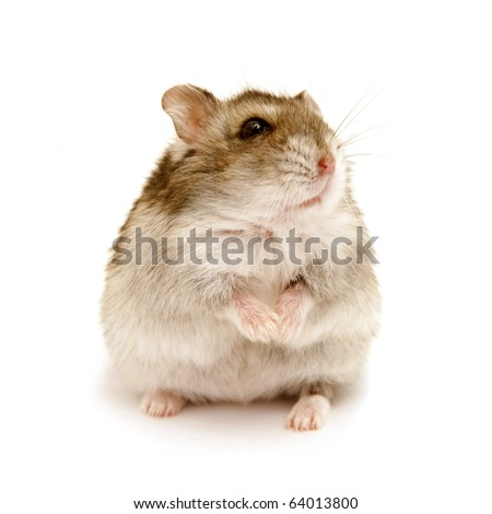 sitting hamster isolated on white - stock photo