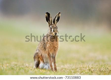 Sitting Hare (Lepus europaeus) Сток-фото ©