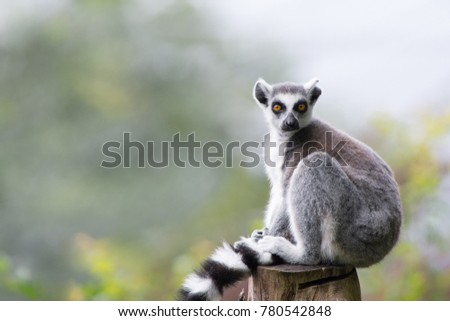 Sitting lemur from Opole zoo.